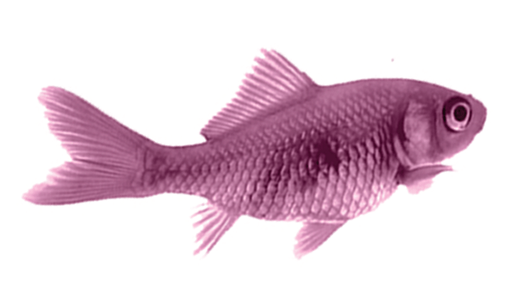 Why a Purple Goldfish?